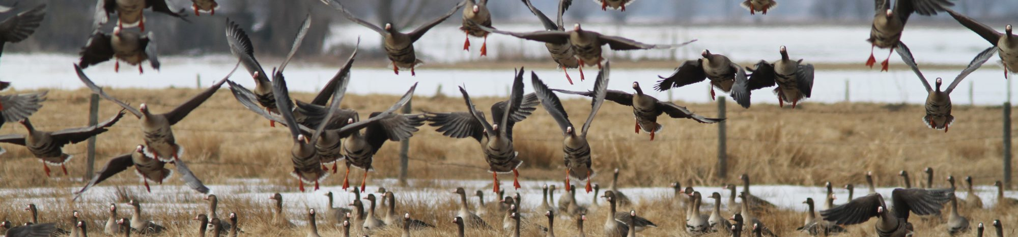Geese conference